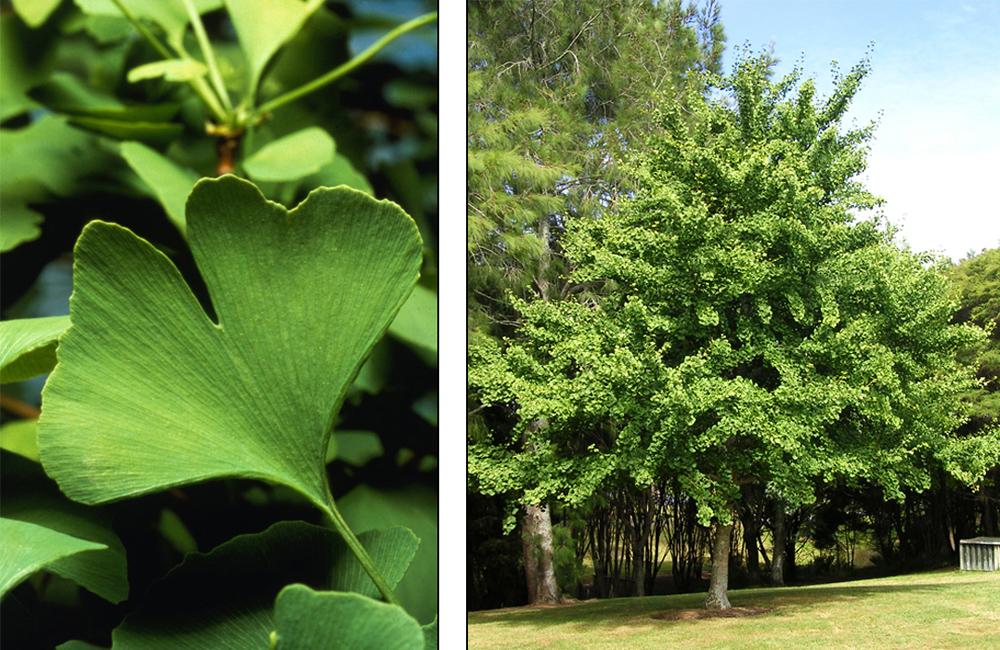 Гинкго билоба дерево выращивание в подмосковье 26