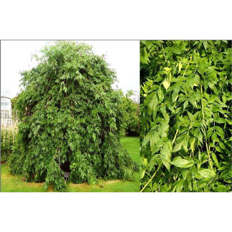 деревья средней полосы россии фото и названия тройняшек